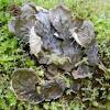 Membraneous Dog Lichen