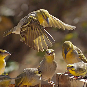 Landing by Elsa van Dyk - Animals Birds (  )