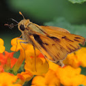 Fiery Skipper     male