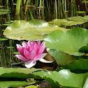 Water-Lily / Seerose