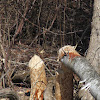 North American Beaver (chewed log)