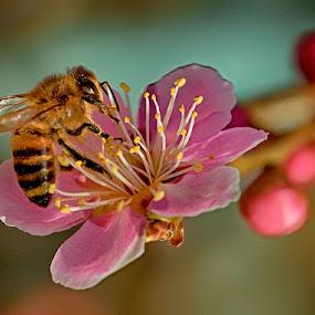 Bee on flower by Radu Eftimie - Flowers Tree Blossoms ( tree blossom, pink, flower,  )