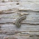Army Cutworm Caterpillar