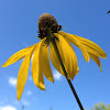 Grey Headed Coneflower