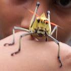 Locust - Langosta