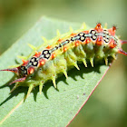 Four spotted cupmoth larva