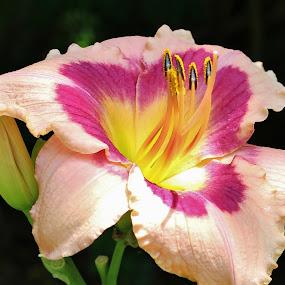 Daylily Wineberry Candy by Sona Decker - Flowers Single Flower (  )