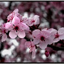 Cherry Plum blossoms