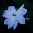 Sampaguita or Arabian Jasmine