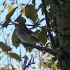 Myrtle Fall Warbler