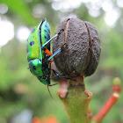 Asian jewel bug
