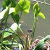 Gallinule or Common Moorhen