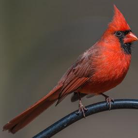 Male Cardinal by Mike Watts - Animals Birds ( bird, red, cardinal, male )