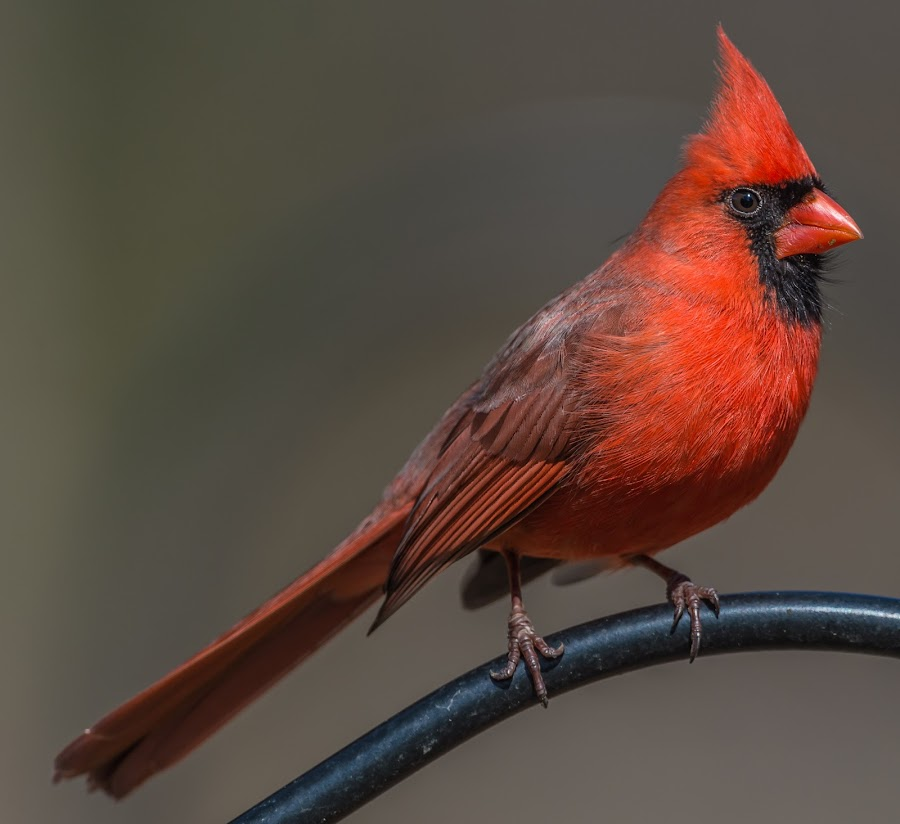 Male Cardinal by Mike Watts - Animals Birds ( bird, red, cardinal, male )
