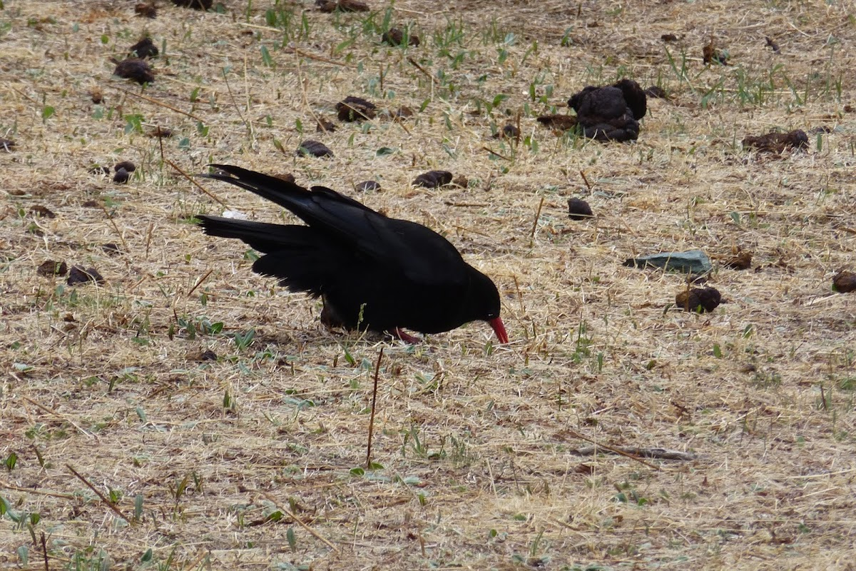 Red-billed Chough 紅嘴山鴉