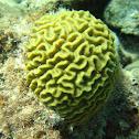 Knobby Brain Coral
