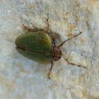 Leafhopper Issus coleoptratus