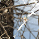 Juvenile Writing Spider