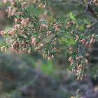Brezo arbóreo (es),