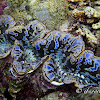 Small Giant Clam, Maxima Clam