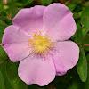Illinois Rose