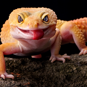 ... by Sugeng Sutanto - Animals Reptiles ( gecko )