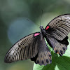 Great Mormon - Butterfly
