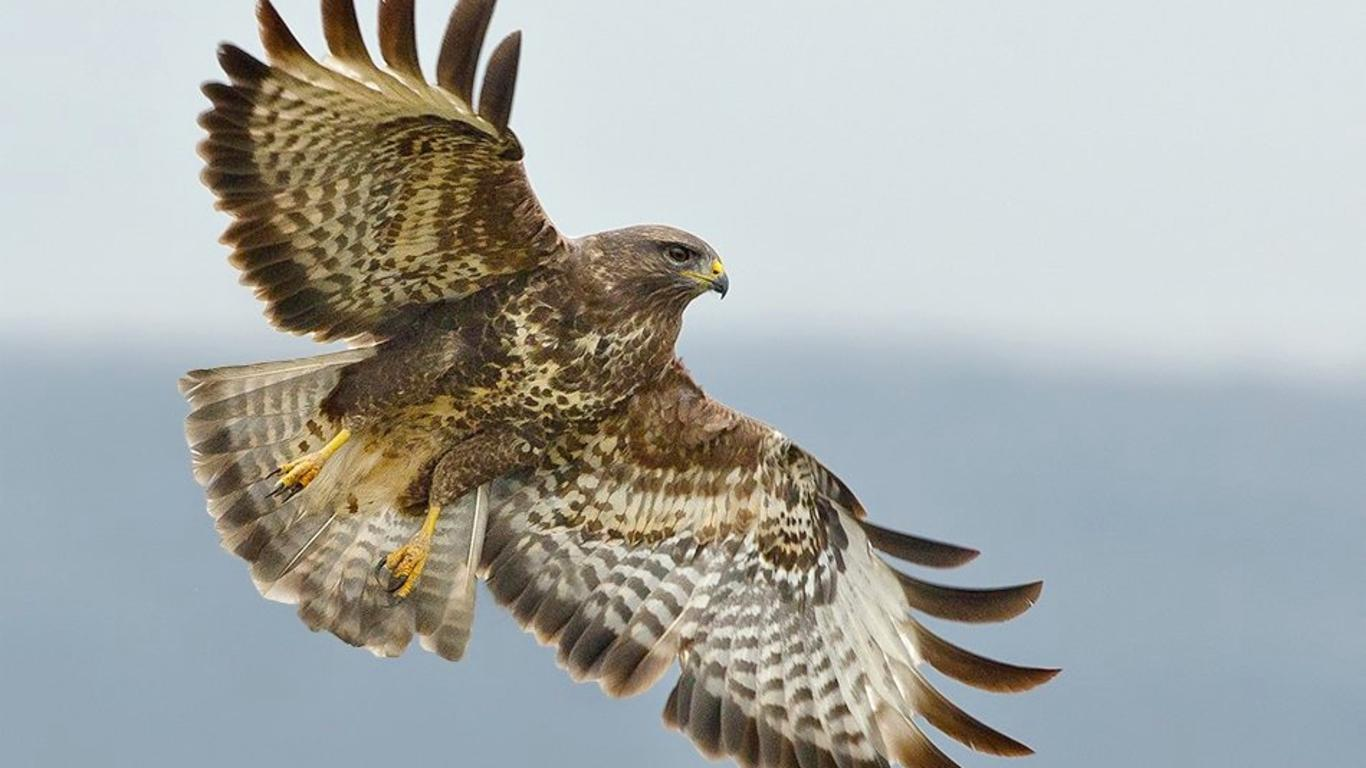 hawk hd wallpaper - photo #14