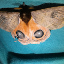 Moth Eye-of-Ox