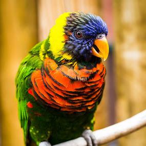 Rainbow by Dale Versteegen - Animals Birds ( bird, rainbow,  )