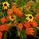 Butterfly Milkweed and Black Eyed Susan