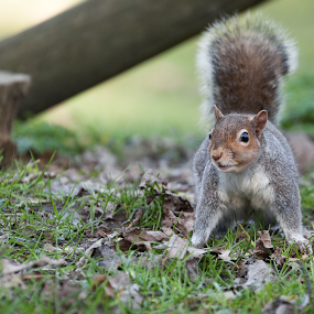 Squirrel by Erik Pettinari - Animals Other Mammals ( scoiattolo, italy, squirrel,  )