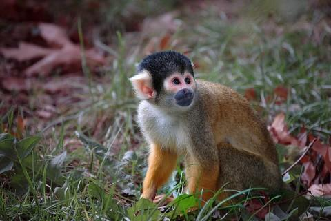 Monkey Wallpaper LWP
