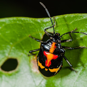 Beetle by Jimmy Fang - Animals Insects & Spiders ( animals, bugs, nature, insects, beetle,  )