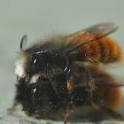 Hornfaced Bee