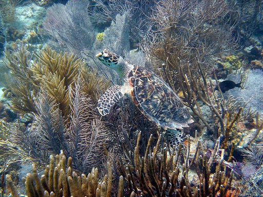 A hawksbill turtle on a reef in the US Virgin Islands. The hawksbill sea turtle is a critically endangered species.