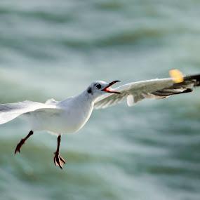 Seagull In Action by Golam Kibria Sumon - Animals Birds ( bird, brown-headed gull, seagull, nature, sea, birds )