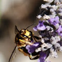 European wood carder bee