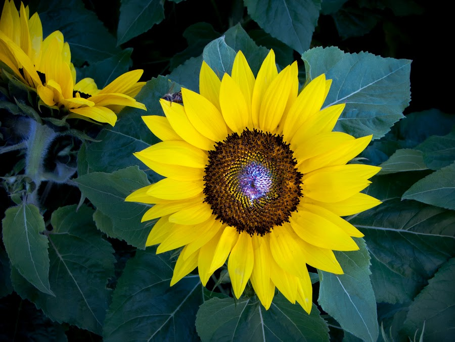Sunflower by Sinisa Mrakovcic - Flowers Single Flower ( , summer, sunflowers, flowers, yellow, garden, seeds, Hope )