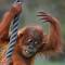 Orang-Utan - Pongo - Primat - Menschenaffe (2767).jpg