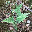 Lady Fern or Common Lady-fern