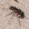 Northern Dune Tiger Beetle; Escarabajo Tigre