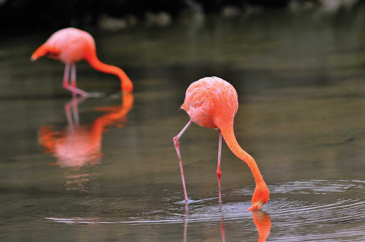 Galapagos_wild_flamingos - Wild flamingos, part of the Galapagos's enchanting landscape.