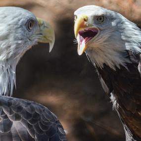 Two Bald Eagles by Peter Murnieks - Animals Birds ( talking, two, eagle, zoo, cage, bald, sounds,  )