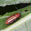 Disonycha (Flea beetle)