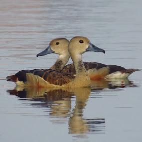 PAIR by Kishan Meena - Animals Birds ( bird, nature, pair, duck, wildlife, lesser )