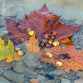 Fall catch by Michael Wolfe - Nature Up Close Other Natural Objects ( water, oak leaves, steream, nuts, pebbles, stones, leaves, maple leaves, rocks, acorns,  )