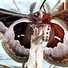 Promethea Moths