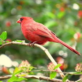 Male Northern Cardinal by Patti Hobbs - Animals Birds ( animals birds male northern cardinal )