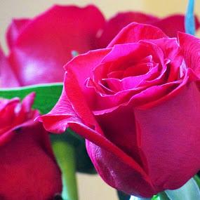 Roses by Lazarina Karaivanova - Flowers Flower Arangements ( r o s e )